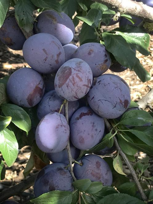 Purple plums in the orchard.