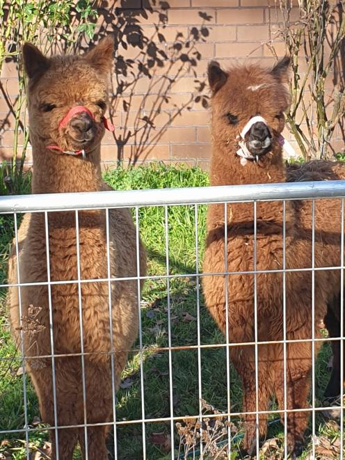 Inca Lodge young alpacas have been special guests school pet days in South Canterbury.