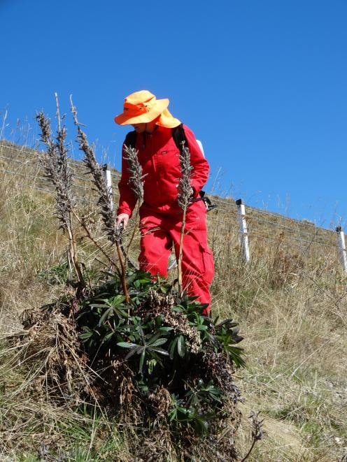 Anne Steven sprays Russell lupins alongside State Highway 8, the Lindis Pass. PHOTOS: MARK PRICE