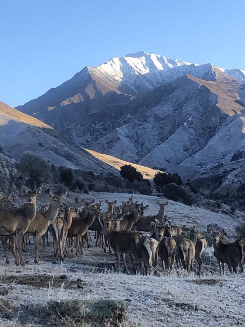 Deer on the Mackay family's Spotts Creek Station in the Cardrona Valley. PHOTO: MACKAY FAMILY