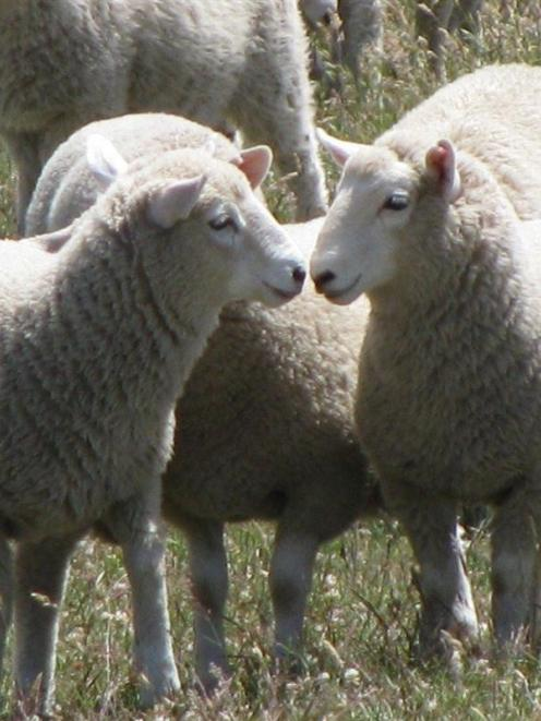 A Perendale progeny test has been extended,  with more traits added to the measurements.  Photo...