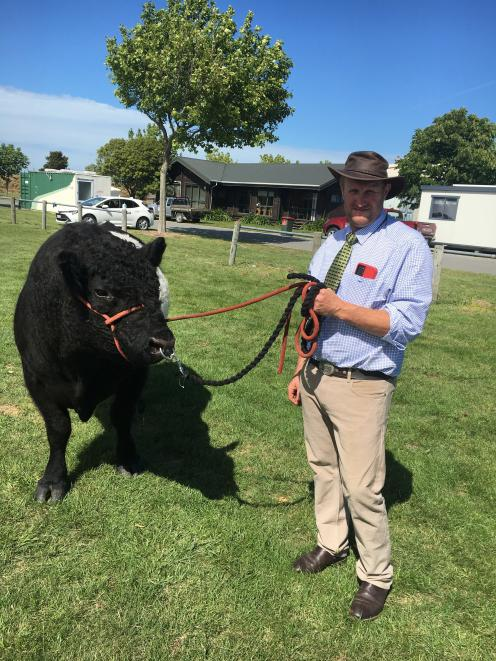 Beef cattle convener Andrew Stokes, of Oxford, looks after his son Marshall's 4-year-old belted...