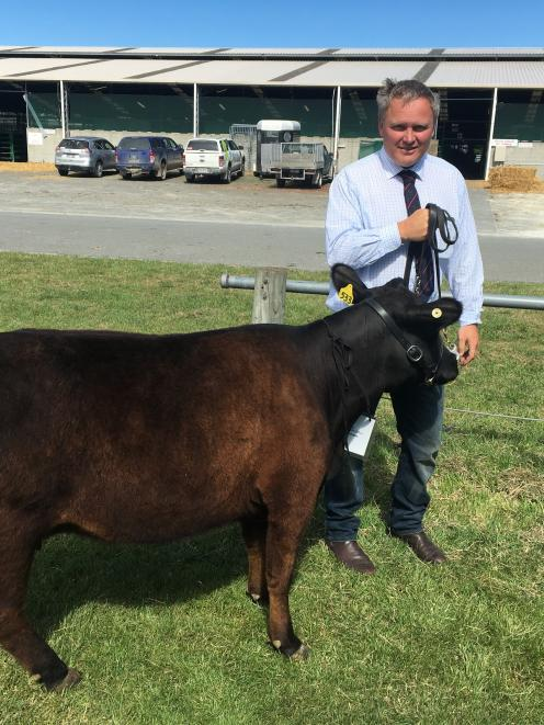 Canterbury A&P Association co-president Chris Herbert, of Omihi north Waipara, minds a Lowline...