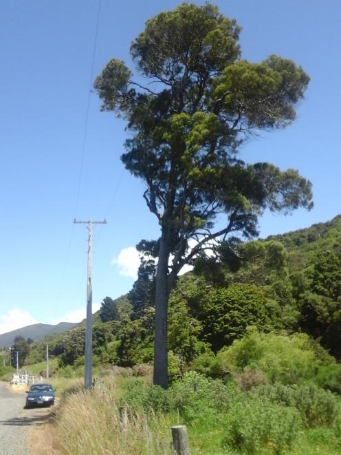 A handsome matai growing beside Waitati Valley Road near Waitati, close to the junction of that...