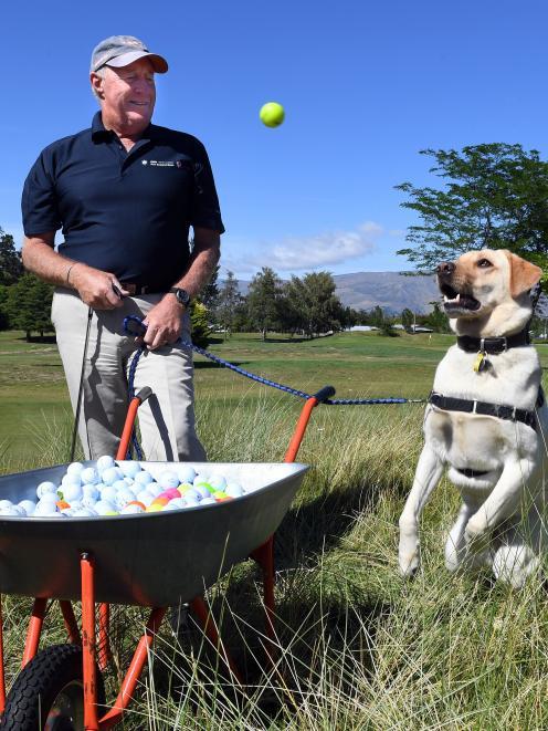 Golden Labrador Fergus prepares to catch one of the golf balls he and his ball carrier Doug...