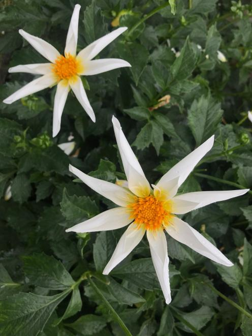 A star collerette, Acacia Star. Sometimes called orchid dahlias, this type has become more...