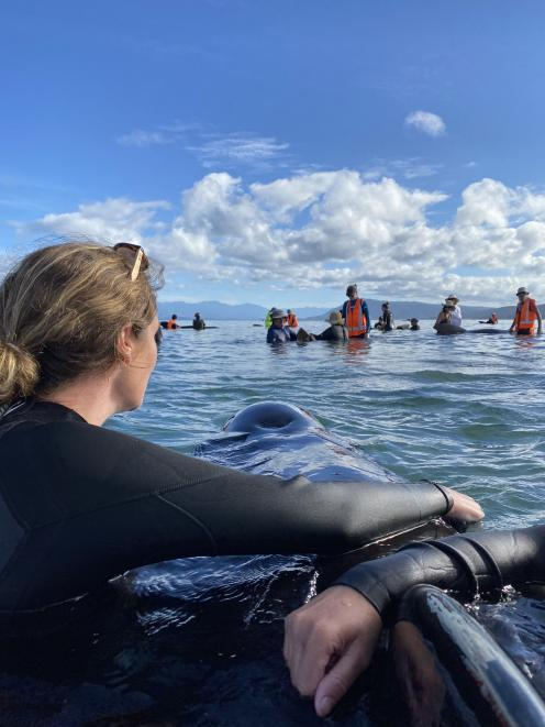 Lara Robertson, of Dunedin, sings to one of the long-finned pilot whales that became stranded on...