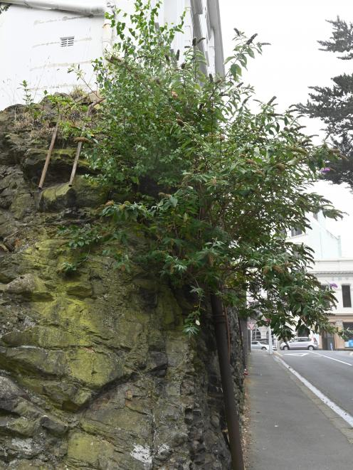 This butterfly bush in Dunedin's Burlington St magically manages to turn bare ...