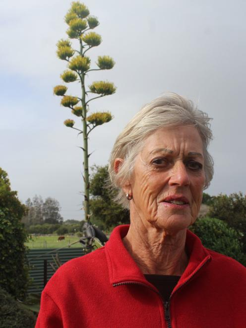 Invercargill resident Raewyn Luscombe could not believe her eyes when her Agave americana plant...