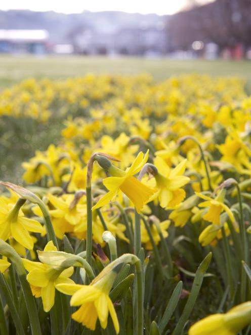 Daffodils dancing in Dunedin. PHOTO: GERARD O'BRIEN
