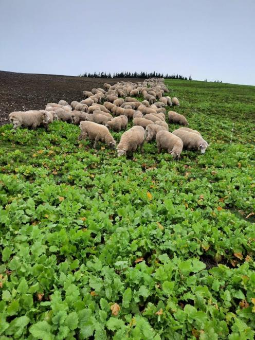 Crossbred Romney ewes eat swedes and turnips on Mark Copland's farm in Eastern Southland last...