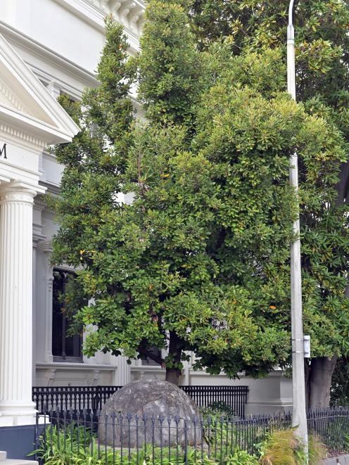 "A lovely taraire tree laden with ""plums"" by the western wall of the Otago Museum."
