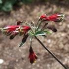 It may be a weed in some regions, but Alstroemeria psittacina syn. A. pulchella (above) is well...