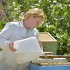 Taieri beekeeper Heidi Rixon feeds bees with sugar water to make up for a lack of nectar because...
