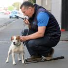 Dunedin City Council animal control officer Alister Wilden reads the registration tag on the collar of a Jack Russell that was caught in Queens Gardens, Dunedin,  yesterday. Photo: Linda Robertson.