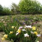 Mary Barrell's garden illustrates why irises were named after the goddess of the rainbow. Photos:...