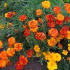 Heads of marigolds (Tagetes) are being marketed by British supermarket chain Sainsbury's. Photos:...
