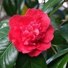 Prune spring-flowering shrubs like camellias after flowering. Photos: Gillian Vine