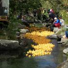 Wanaka's Bullock Creek was a sea of yellow rubber ducks as 1500 were dumped into the water at the top of Dungarvon St at the start of the Rotary Wanaka annual duck race. Photos: Kerrie Waterworth
