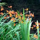Montbretia (Crocosmia x crocosmiiflora) is a weed. Photos: Gillian Vine