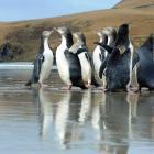Rescued penguins on an Otago Peninsula beach. Photo: Craig Baxter