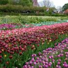 At Hortus Bulborum, in the Netherlands, tulip species and old cultivars are on show in spring....