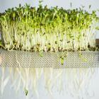 All you need to grow microgreens is a warm, sunny windowsill and a tray of potting compost or...