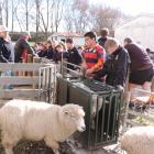 Caleb Baird (12) checks out the fleece on a sheep at Fraser Farm.
