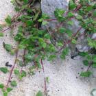 Native Tetragonia implexicoma will sprawl or climb.