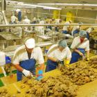 Workers at the factory of Barnes Wild Bluff Oysters work flat out after the first harvest of...