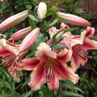 Holland Beauty is a strong grower with multiple flowers on each stem. Photos: Gillian Vine