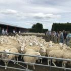 Rural Livestock agents sell capital breeding ewes at Lee Ridges, near Outram, last week. Photos: Alice Scott