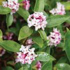 You can almost breathe the scent emanating from this bloom-covered Daphne Odora 'Leucanthe'....