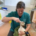 Dr Lisa Argilla feeds an endangered yellow-eyed penguin at the Dunedin Wildlife Hospital. PHOTO:...