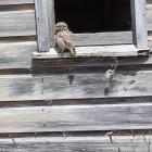 This little owl was recently seen at the window of an old barn at Hoopers Inlet. PHOTO: SUPPLIED