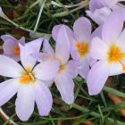 This true autumn crocus, probably Crocus serotinus ssp. salzmannii, flowers in April. PHOTOS:...