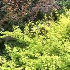 Berberis thunbergii Aurea (front) with a contrasting dark cultivar behind it.
