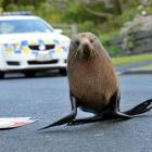 A fur seal being chased by police. Photos by Stephen Jaquiery.