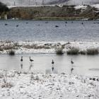 40 black stilts are released in wintry conditions at Lake Tekapo. Photo by the Department of...