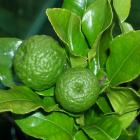 A potted Kaffir lime flourishes outside, but is housed in the glasshouse over winter.  Photos by...