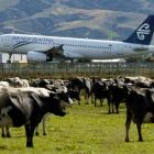 Pastures anew . . . A Freedom Air flight, in the Air New Zealand livery, arrives from Melbourne...
