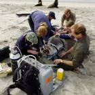 (clockwise from left) Massey University wildlife vet Kerri Morgan, DOC marine mammal scientific...