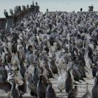 Crowded house . . . Thousands of shags roost on Sumpter's Wharf and the breakwater at Oamaru...
