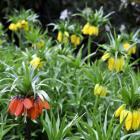 <i>Fritillaria imperialis</i>. Photo by Gregor Richardson.