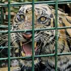 A female Sumatran tiger that is believed to have killed 3 men is seen inside a trap set up by...