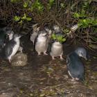 A group of penguins seek shelter under a bush at the Oamaru Creek penguin refuge. Photo by...