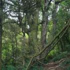 A grove of mature rimu near the visitor centre. Photos by Neville Peat.