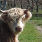 A Highland cattle beast at Surveyor Thomson vineyard in Central Otago.