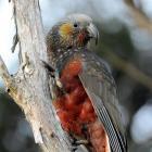 A kaka chick at the Orokonui Ecosanctuary. Photo by Stephen Jaquiery.
