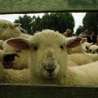 A meat industry strategy is expected to target several existing industry structures as blocking...